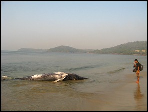Dead whale at the Velsao beach