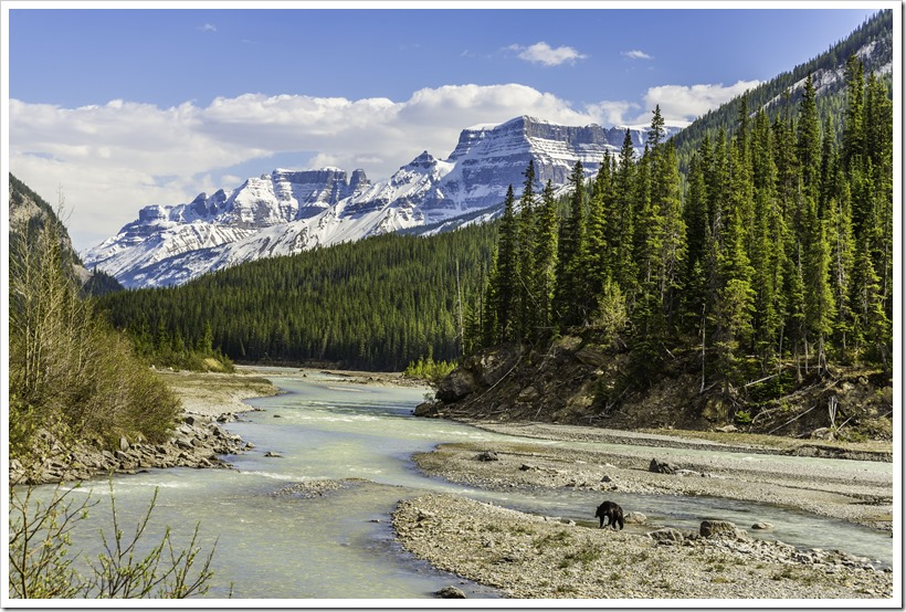 A black bear crossing the Athabasca river in search of dandelions, Banff National Park, Canada